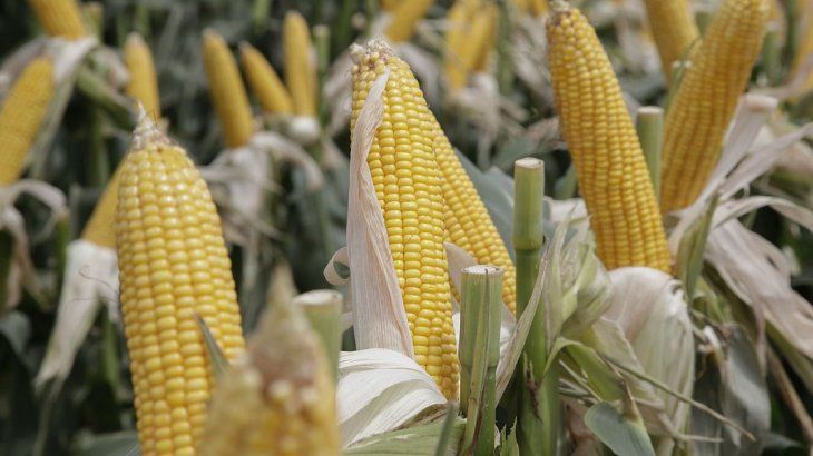 La producción agrícola, rumbo a máximo histórico: superaría las 140 millones de toneladas