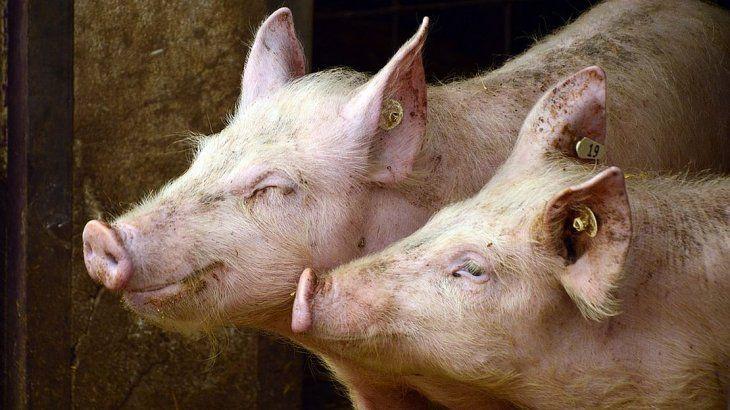 Impulso a las ventas de cerdo local a China