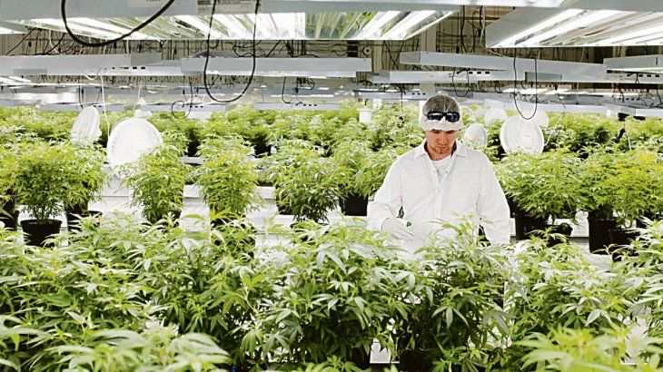 Cannabis, un negocio millonario a la espera de una decisión política