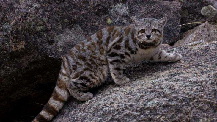 Dos ejemplares de gatos andinos fueron avistados en la reserva de Villavicencio