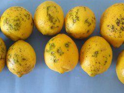 Se investigarán las causas que llevaron a esta situación para que los limones puedancumplir con las exigencias fitosanitarias de la Comisión Europea