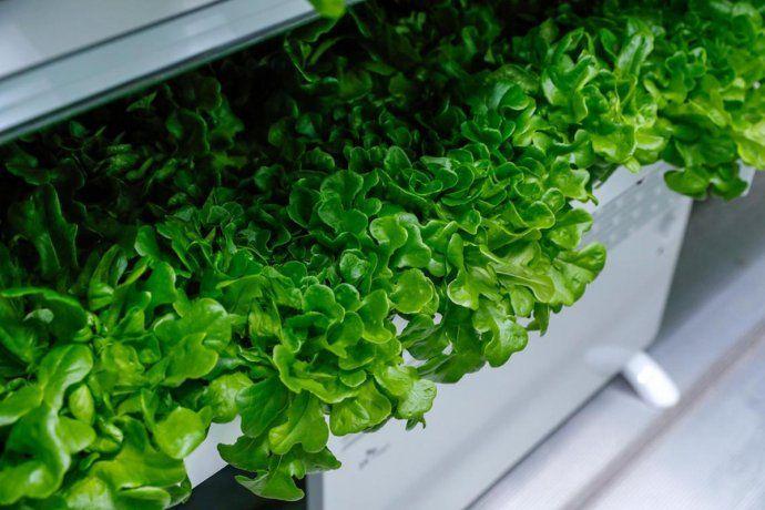 En los Emiratos Árabes Unidos se cosecha lechuga en containers y sin la necesidad de usar tierra.