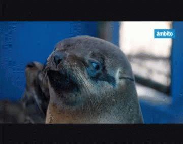 Tres lobos marinos rescatados regresaron al mar en el Partido de la Costa