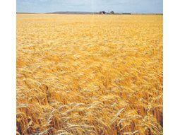 La producción de trigo argentino es seguida de cerca por los operadores de todo el mundo.