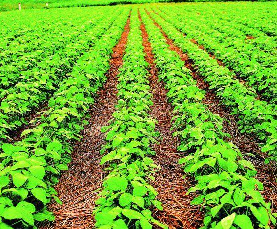 Los precios futuros de la soja anotaban este miércoles su séptima suba consecutiva.