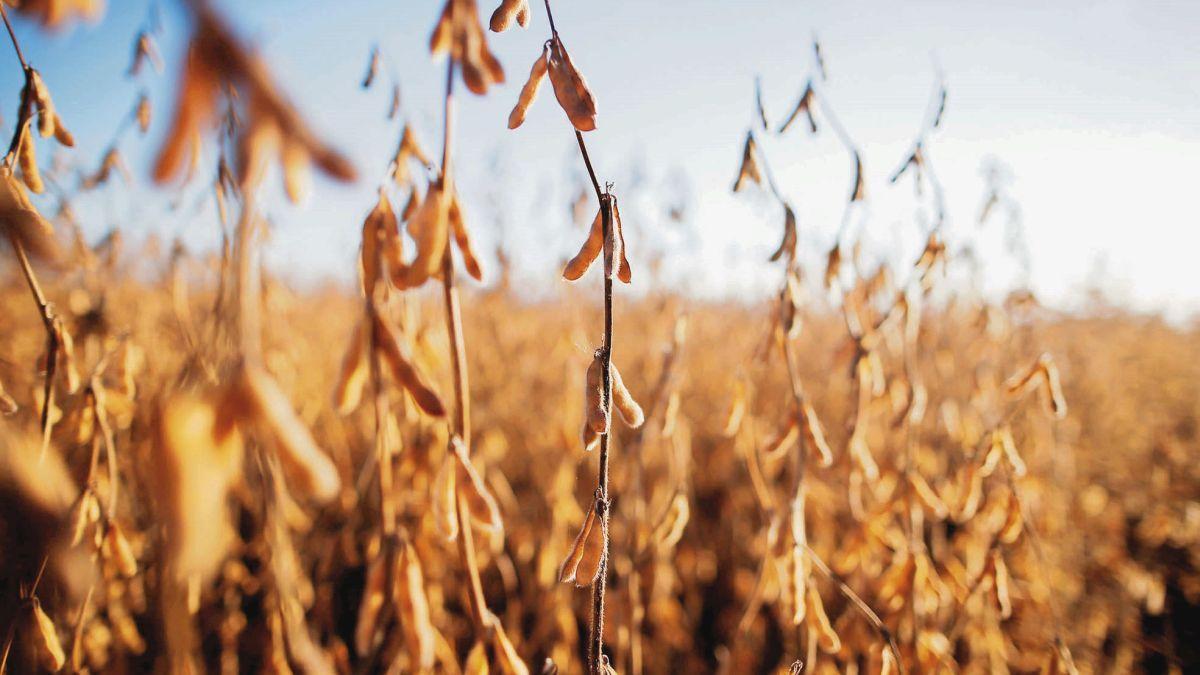 La soja volvió a caer este lunes y registró la cotización más baja de los últimos nueve meses y medio.