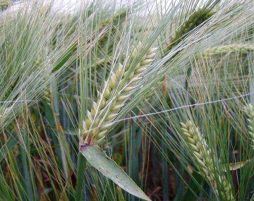 Trigo y cebada: el área asegurada crecería al ritmo de las hectáreas sembradas