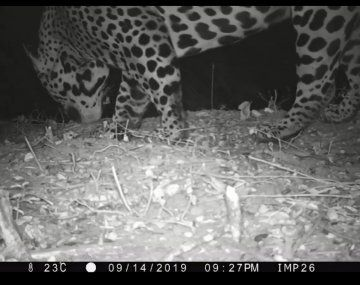 Inédito: por primera lograron fotografiar a un yaguareté en El Impenetrable.