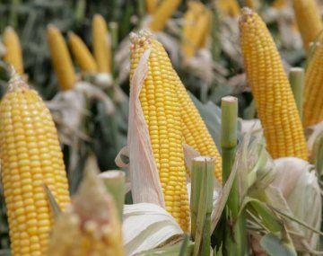 incrementó la estimación de Incrementó la Bolsa de Cereales de Bs.As. su estimación de producción de maíz en 2 millones de toneladas.