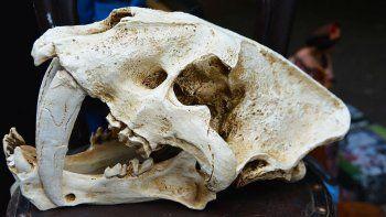 Hallaron uno de los felinos dientes de sable más grandes de la historia.