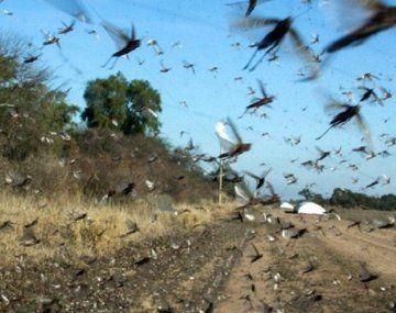 Las langostas son combatidas en el norte del país donde por el momento no afectó los cultivos.
