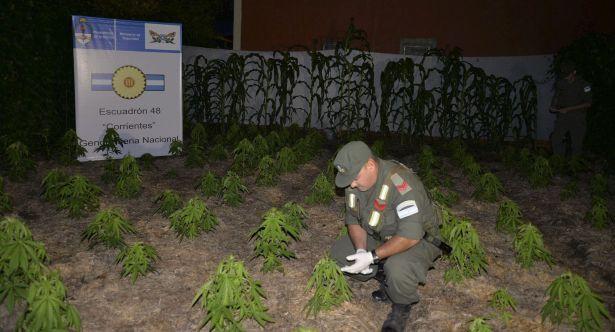 Gendarmería Nacional luego de una investigación allano una finca en la provincia de Corrientes donde sus propietarios se dedicaban al cultivo de plantas de Cannabis Sativa (marihuana).