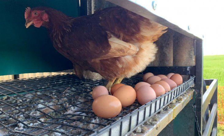 Los huevos se comercializan a través de dos canales: el primero, directo al consumidor final vía Instagram. El otro, a través de los comercios.