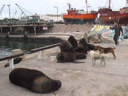 La inesperada presencia de lobos marinos ¨colonizando¨ distintos sectores del Puerto Mar del Plata, centralizó la atención de la opinión pública en los últimos días.