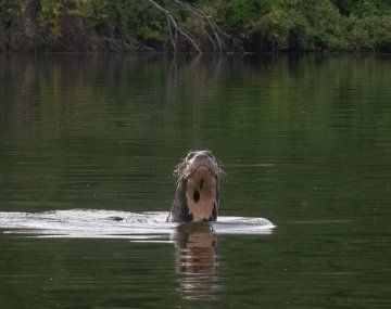 La nutria gigante es uno de los animales que se creían extintos en el país.