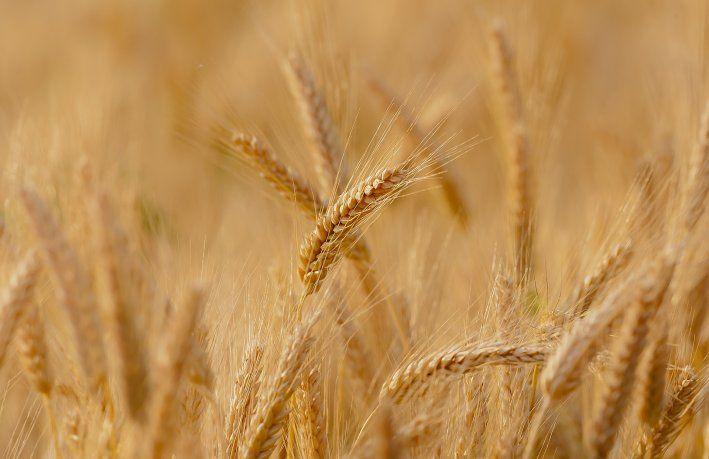 trigo-granos