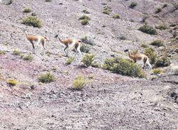 Los guanacos son una de las pocas especies que pueblan la zona de Jaramill