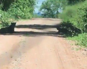 Inédito avistaje: filman a una yaguareté y su cachorro en Jujuy