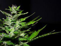 cannabis medicinal: se esperan inversiones tras reglamentacion
