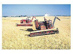 Los altos precios podrían persuadir a los productores paraque siembren más trigo en 2007/08, a pesar del temor a lasintervenciones del gobierno en el mercado.