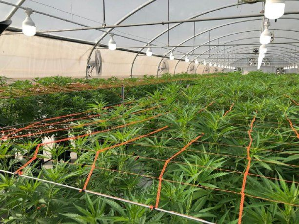 Cannava: ya funciona el primer laboratorio de cannabis medicinal