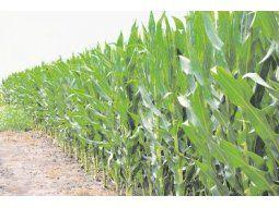 Mucho más. El rendimiento promedio del cultivo alcanzaría los 10.982 kilos por hectárea y la producción total sería de 384,9 millones de toneladas.