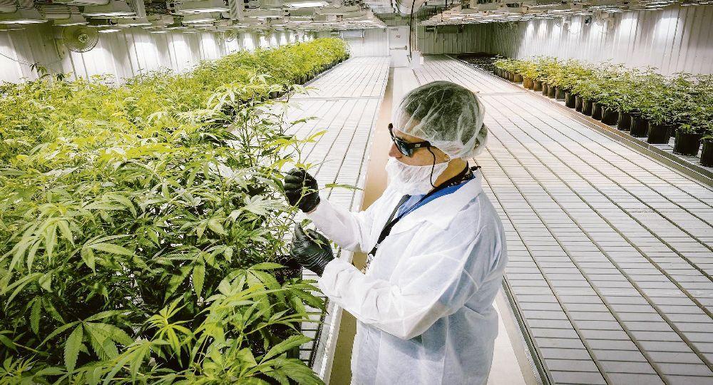 Negocio. La industria legal del cannabis moverá u$s32.000 millones en 2020. La empresa Aurora Cannabis está valuada en u$s9.200 millones.