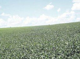 Campos verdes. Los próximos días serán vitales para  la oleaginosa en EE.UU.; se necesitan lluvias para asegurar el llenado de granos.