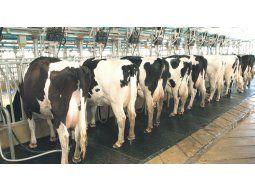 genética holando. Una vaquillona produce alrededor de 6.000 litros de leche y cotiza en el mercado entre 28.0000 y 30.000 pesos.